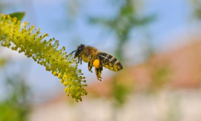 Los-Angeles-Homes-Sometimes-Need-Bee-Removal