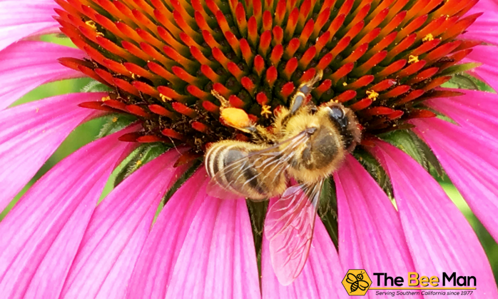 The-advantage-of-bee-removal-Los-Angeles-to-traditional-exterminators