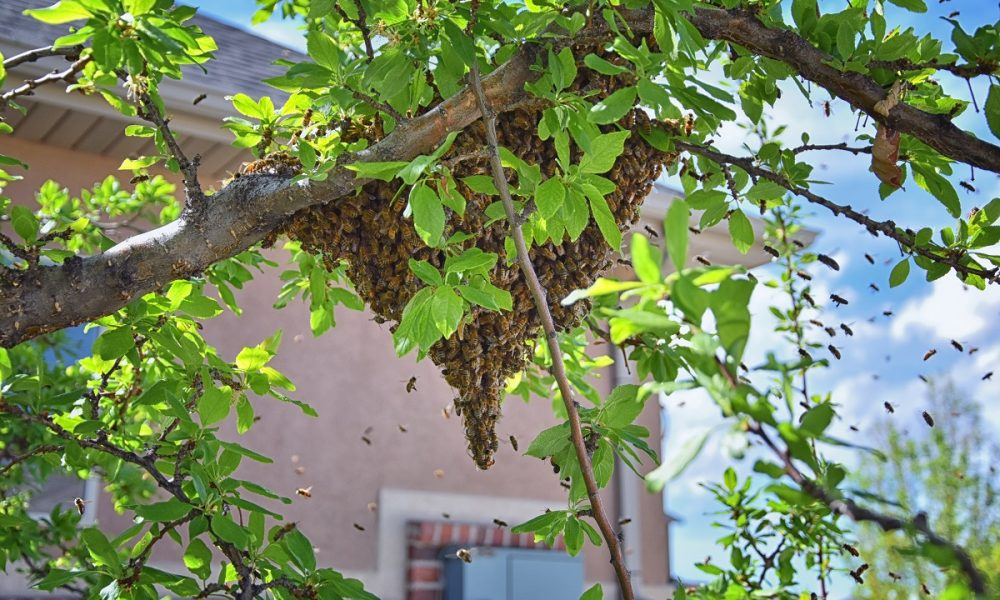 Learn-Why-Bees-Form-Large-Swarms-from-Bee-Removal-Professionals-in-Orange-County